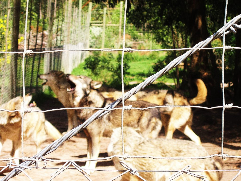 Wolves in cage